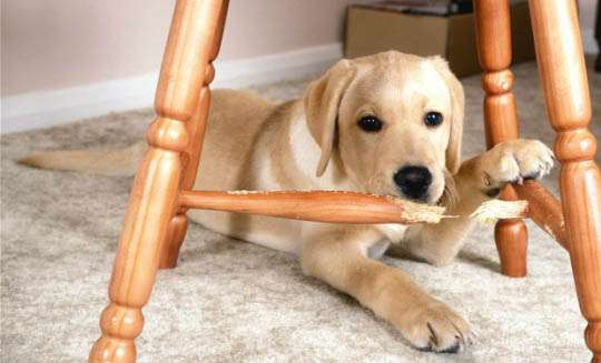 How To Train a Puppy To Not Chew On Your Belongings